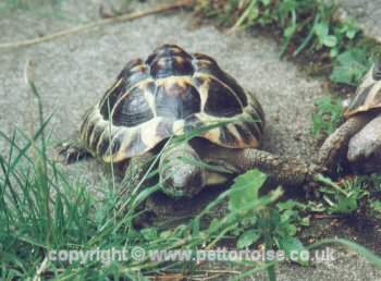 copyright � www.pettortoise.co.uk